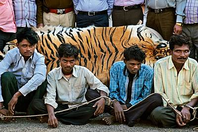 Тези мъже били задържани през януари 2011 г., докато се опитвали да продадат тигрова кожа близо до Чандрапур, Индия. Незаконната търговия с...