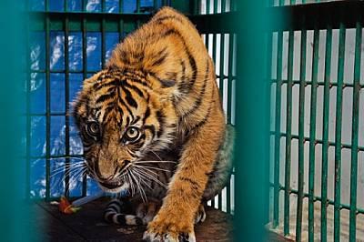 Попадането в бракониерски капан е струвало десния преден крак на това 6-месечно тигърче, а също така и свободата му. Крайникът бил ампутира...