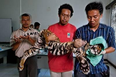 Двама ветеринари и един рейнджър държат тигърче сред ампутирането на крака му. Малкото било хванато в примка в провинция Ачех в Индонезия....