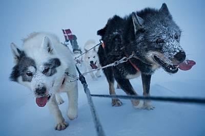 В средата на зимата един екип с кучешки впряг потегля да патрулира в Североизточна Гренландия.http://www.fritzhoffmann.com/