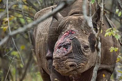 """Търсачи на дивеч открили този мъжки черен носорог в зимбабвийския резерват """"Саве Вали"""", след като бракониери го прострел..."""