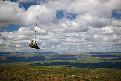 С вързани очи и упоен, един черен носорог бива пренесен с 10-минутен полет с хеликоптер от южноафриканската провинция Източен Кейп до камион...