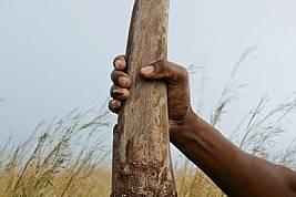 От 3,5-килограмов рог като този може да се спечелят 360 000 долара на черния пазар. http://www.brentstirton.com/