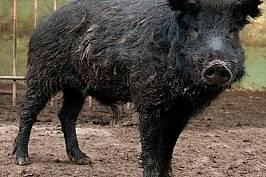 Единствената съхранена местна порода свине у нас, източнобалканската, се е отделила от глигана преди около 2500 г. И до днес обаче представ...