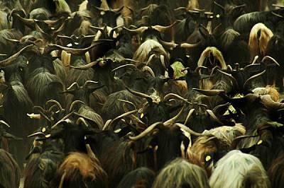 """Стадото от калоферски дългокосмести кози на сдружението за биологично разнообразие """"Семпервива"""" е най-голямото в странат..."""