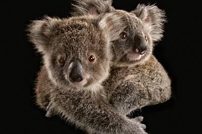 Малки коали Две малки са се вкопчили едно в друго във ветеринарна болница, преди да ги предадат на грижите на гледачи. По-късно ще ги пусна...