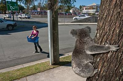 От ствола на дърво в град Питри, северно от Бризбейн, женска коала наблюдава как фотоасистентката Джес Хупър я доближава с кош, с който да...