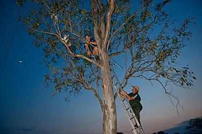 """Активистът Рей Чеймбърс от Спасителната служба за коали """"Съншайн Коуст"""" улавя с мрежа женска и малкото й под погледа на..."""