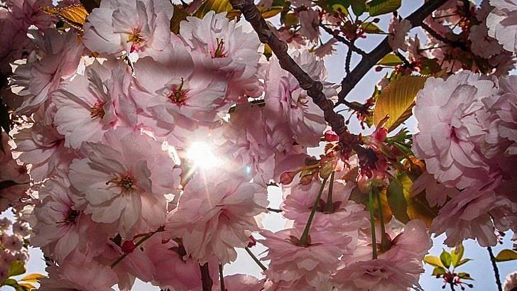 Това дърво се е превърнало в символ на Япония, а вишневият цвят се смята за национално цвете. Снимка: БГНЕС