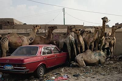 На пазар за камили северозападно от Кайро гледачите бият с пръчки ревящите животни, за да стоят под строй. Въпреки това тези маркирани за п...