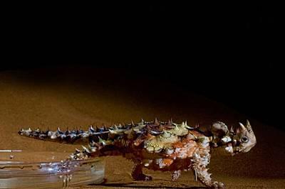 Пиейки през крака си, молохът от безводната Австралийска пустиня демонстрира способността си да отвежда вода до устата си чрез канали между люспите си...