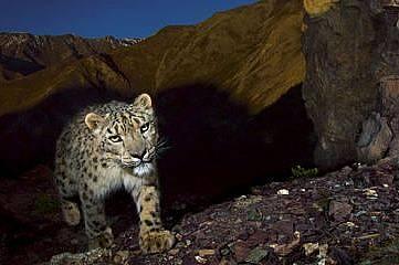 Снежните леопарди