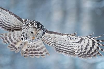 Те са свирепи, с размах на крилете 120 см и нокти, които пробиват кожа. Но една женска нямаше нищо против да се превърне в муза за фотограф...