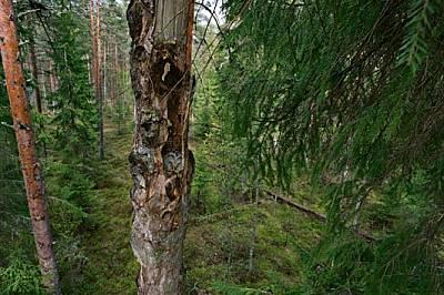 Любимият обект на фотографа - женската уралска улулица, която е на повечето от тези снимки - открила естествено скришно местенце, където да...