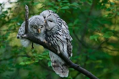 """Тя изглежда сладка, докато пощи малкото си, но не се приближавайте гнездото на мама - уралските улулици са свирепо териториални """"..."""