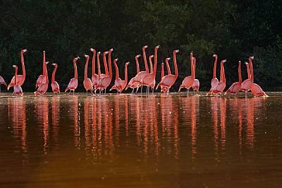 Фламинги се събират на мексиканския полуостров Юкатан за изпълнение на брачните си ритуали. http://www.nigge.com/