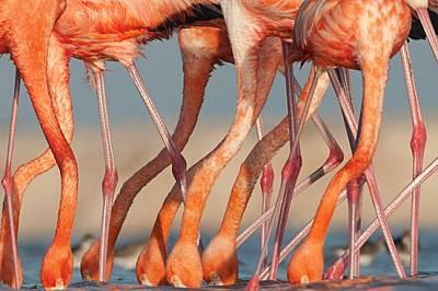 Пигментите в артемията - миниатюрно ракообразно, изобилстващо на Юкатан, където бяха заснети тези фламинги - придават на перата на птиците к...