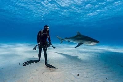 БахамитеГмуркач наблюдава тигрова акула.