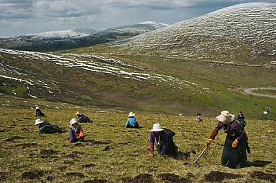 Със закрити от слънцето лица и градинарски инструменти в ръцете тибетските семейства могат да търсят по цял ден ларвите, наречени ярца гунб...