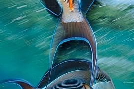 """Арабски риби хирург (наречени така заради оранжевите """"скалпели"""" при опашката) се борят за територия на един коралов риф..."""