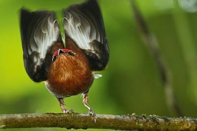 Червеноглав кралчев манакин вдига крилете си, за да засвири.Machaeropterus deliciosushttp://www.timlaman.com/