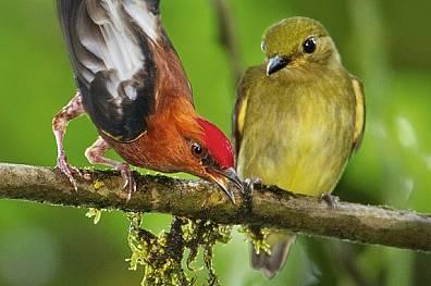 """Мъжки червеноглав кралчев манакин в орнитологичния резерват """"Милпе"""", с характерното си червено петно на главата, тъкмо е..."""
