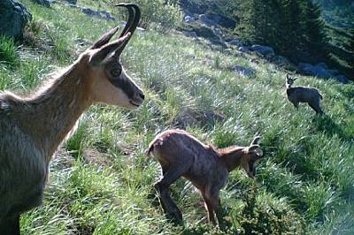 Диви кози във Витоша