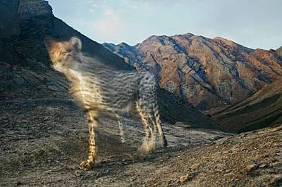 Скрита камера е уловила мимолетната поява на азиатски гепард. Едва няколко десетки от тях оцеляват в един отдалечен край на Иран. По целия...