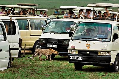 """Млад гепард криволичи в лабиринта от сафари бусове в кенийския резерват """"Масай Мара"""". Туризмът, лъвовете и настъпващите..."""