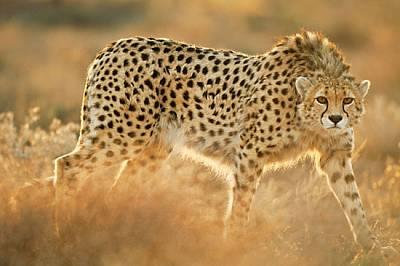 Спасен като малък от ръцете на бракониер, 5-годишният Кошки израснал в резерват в Североизточен Иран. Той е единият от двата азиатски гепар...