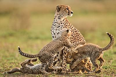 Младата майка гепард Ета оглежда Серенгети за признаци на опасност, докато четирите й 12-седмични малки се боричкат. Проучване е установило...