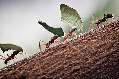 """И мравките боледуват! Излизат в """"болнични"""", за да не заразят другите"""