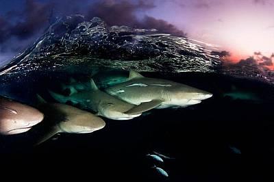 Лимонови акули по залез, Бахамите