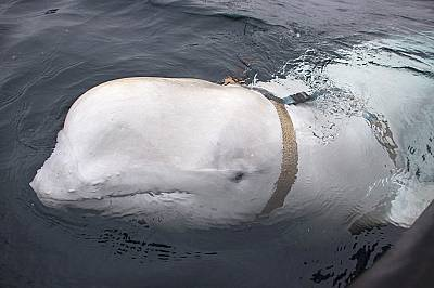 Китове – шпиони: бозайници с доказан военен опит