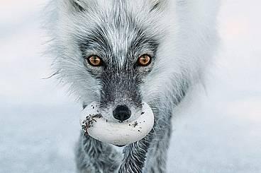 Полярните лисици - ловките крадци на о-в Врангел, отмъкват по 40 гъши яйца на ден и ги трупат на склад за малките си.