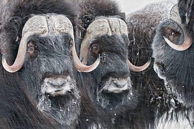 Овцебиковете - по-близки до козите и овцете, отколкото до биковете - били докарани на о-в Врангел през 1975 г. и днес наброяват около 800. Те все по-ч...
