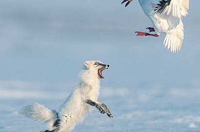 Войнствена лисица прогонва снежна гъска от гнездото й - ход, предхождащ кражбата на яйца. Колония гъски мигрират на острова през май след зимуване в С...