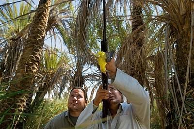 ЕгипетСлед като прекосят Средиземно море по пътя си на юг, авлигите трябва да преодолеят повече от 1800 км над Сахара. Оазисът Ал Магра е дългоочакван...