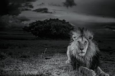 Лъвове убиват лъвове. В защита на интересите си Момъка се сблъсква с тази опасност всеки ден (и нощ).
