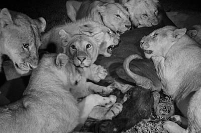 Поотраснали лъвчета от прайда Вумби и голяма женска (петата отляво надясно) пируват с антилопа гну. Най-тъмните безлунни часове са идеално време за ло...