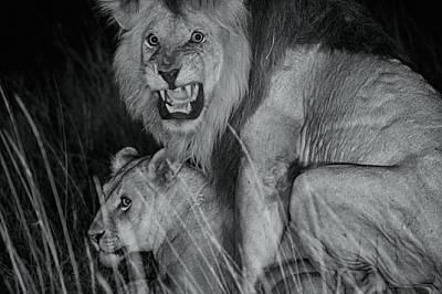 Момъка копулира с женска от прайда Кибумбу. След като стане баща на лъвчета, съжителстващият с прайда мъжкар може да бъде изместен от други самци. В т...