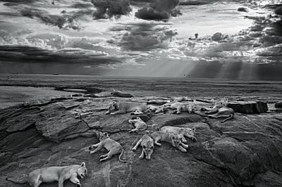Прайдът Вумби си отдъхва на скалисто хълмче близо до предпочитан от тях водоем. Лъвовете използват подобни възвишения като места за почивка и наблюдат...
