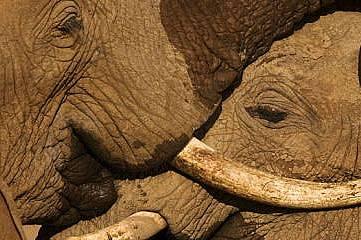 Слоновете от Самбуру