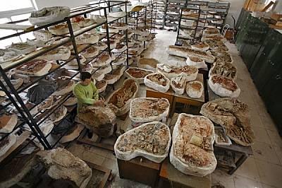 Лаборантите още обработват голяма част от 600-те фосила, открити в Уцайуан през последните 7 години и съхранявани сега в гипсови пашкули. Досега са би...