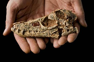Черепът на Junggarsuchus sloani - примитивно сухоземно животно от групата на крокодиловите, е част от съкровището от фосили, което хвърля светлина вър...