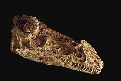 Guanlong wucaii е най-ранният известен член на семейството на тиранозаврите, чиято кулминация е страховитият T. rex.