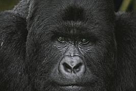 Среброгръба планинска горила се бори с живота във военната зона на Демократична република Конго.