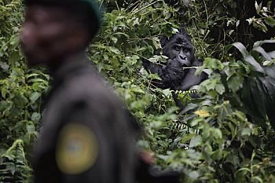 """Възрастната мъжка горила Цонго наблюдава рейнджър в националния парк """"Вирунга""""."""