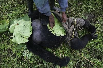 """Рейнджър от парка """"Вирунга"""" демонстрира нежна грижа към тази женска планинска горила, застреляна от неизвестни нападатели миналата..."""