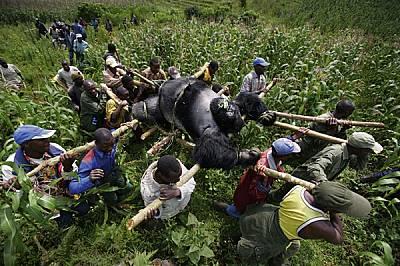 Снимката, която цял свят видя. На 24 юли 2007 г. опечалени селяни изнасят Сенквекве - 225-килограмовия среброгръб мъжкар - от националния парк &bd...
